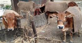 বটিয়াঘাটায় তীব্র শীতে কাহিল গবাদিপশু