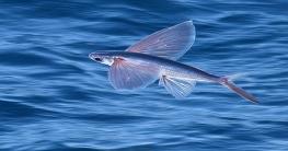 যে মাছ উড়তে পারে (ভিডিও)