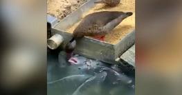নিজে না খাইয়ে মাছকে খাওয়াচ্ছে হাঁস (ভিডিও)