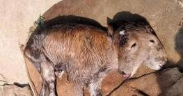 ঠাকুরগাঁওয়ে ২ মাথা-৪ চোখ বাছুরের জন্ম