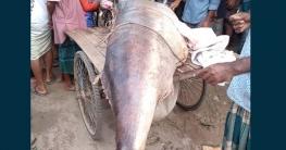 খুলনা থেকে তিনটি রকেট মাছ গেল পার্বতীপুর